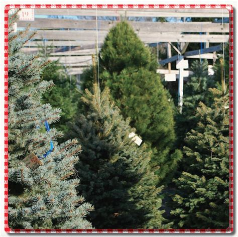 top 28 apple hill christmas tree prices low cost