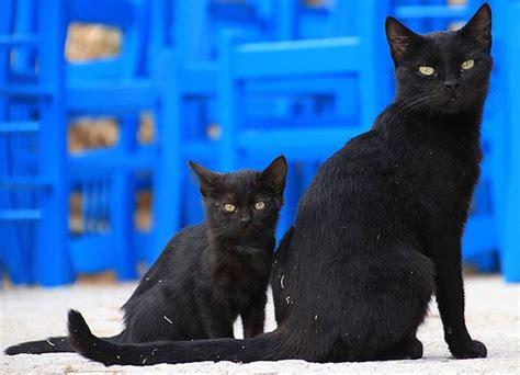 imagenes en negro de gatos gato negro simbolismo razas y comportamiento