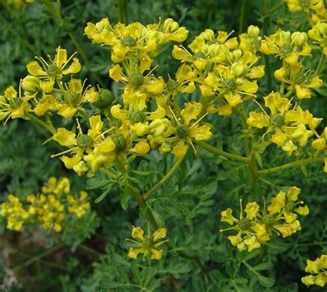 Imagenes De La Chica Web Zona Ruda   plantas medicinales ruda