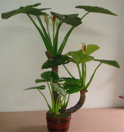 large indoor plants new arrival large leaf indoor plants for decoration 2014