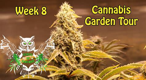 8 week cannabis seeds grow your own marijuana cannabis buzz