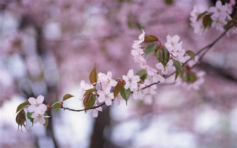 For You In Blossom 4 wallpapers cherry blossom