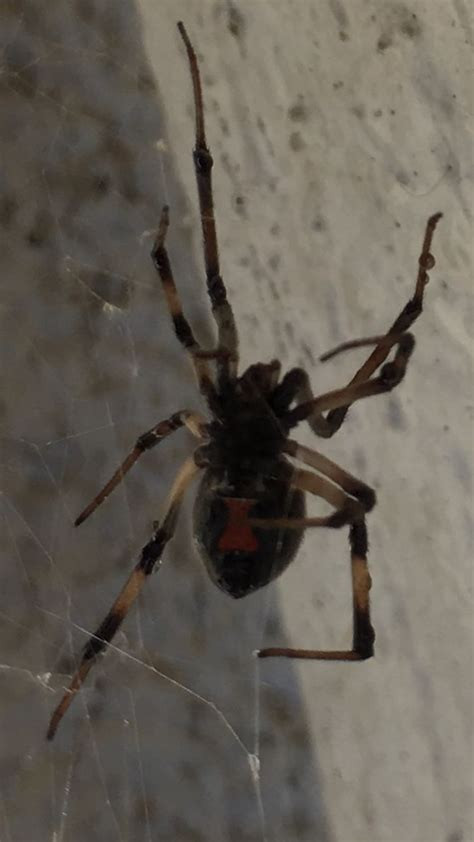 black widow awning how to get rid of black widows in garage 28 images how
