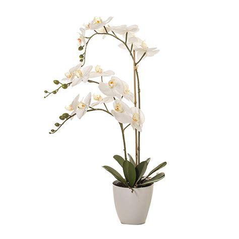 orchidea in vaso orchidea in vaso