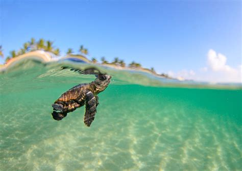 turtles background baby sea turtle desktop wallpaper