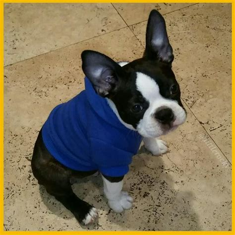 happy pugs burlington nj basic hoodie nautical blue baxterboo