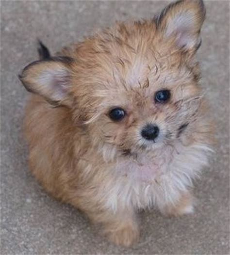 choodle puppies chi poo chihuahua poodle mix info puppies temperament picture