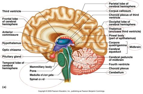 how is for a fissures of brain how big is a human brain couldn39t ask for more human anatomy labelled