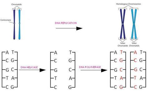 dna replication process diagram dns process diagram best free home design idea
