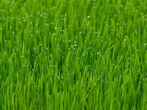 Pilze Im Garten Woher by Pilzbefall Im Rasen Pilzbefall Im Rasen Hilfe Rosa