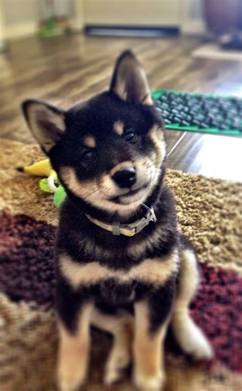 black shiba inu puppies shiba inu puppy 11 weeks black and puppies