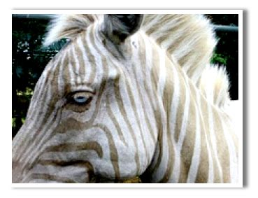 Lu Stop Zebra view topic wme light grey zebra chicken smoothie