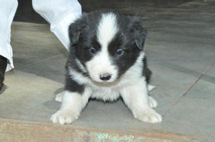 border collie puppies price border collie puppies for sale prathama gavai 1 13519 dogs for sale price of