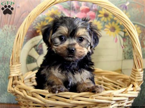 yorkie colorado puppys pictures puppies puppy