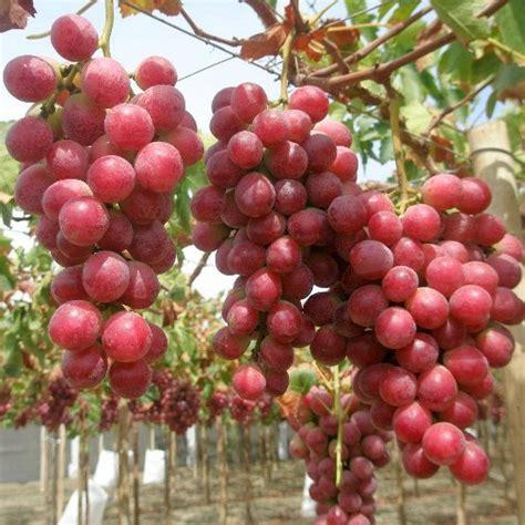 uva da tavola uva da tavola rosa sultanina vaso 216 19cm vendita piante