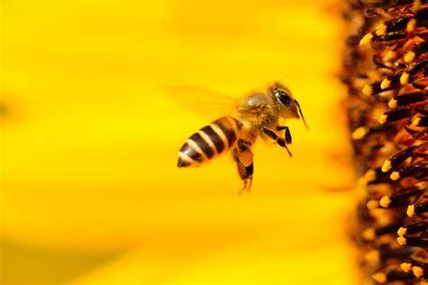 imagenes gratis cc0 abejas im 225 genes y fotos