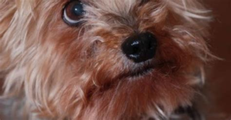 yorkies symptoms yorkie symptoms ehow uk