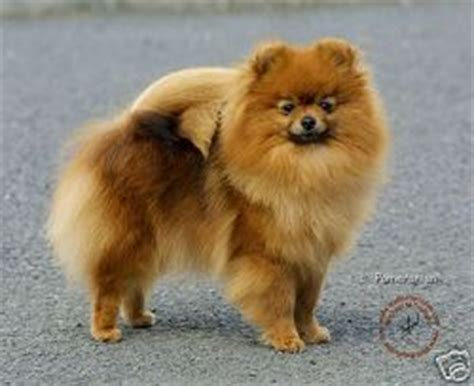 german spitz and pomeranian differences the gallery for gt german spitz klein vs pomeranian