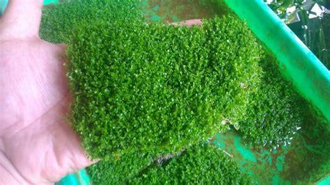 Murah Tanaman Aquascape Hemianthus Callitrichoides Cuba jual tanaman aquascape hemianthus callitrichoides quot cuba quot di lapak aquabagus syamsudin noor