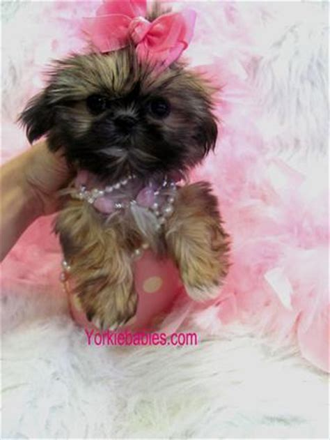 teacup yorkie shih tzu shih tzu puppies teacup shih tzu shih tzu for sale breeder teacup miniature