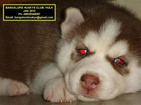 husky puppy price siberian husky puppy price images