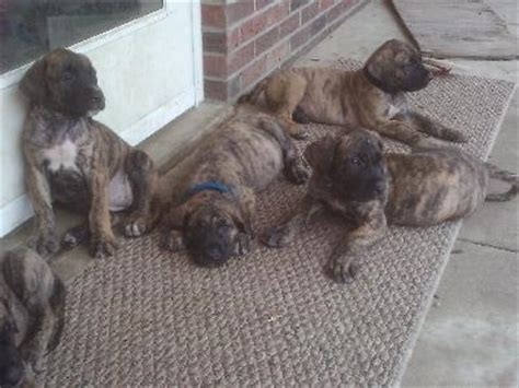 great daniff puppies for sale daniff great dane mastiff mix spockthedog