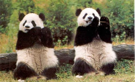 hulk movie weekend tree ぽむぽむ パンダの癒し系画像集 giantpanda 画像集 naver まとめ