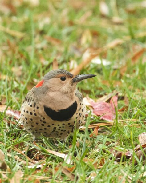 northern flicker williamsburg bird club