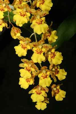 Easy To Care For Indoor Plants by Oncidium Orchid Howstuffworks