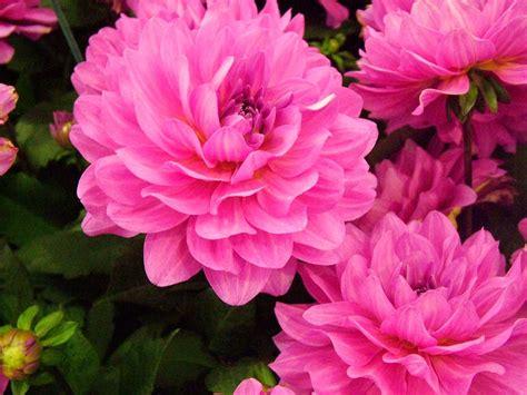 Biji Bunga Dahlia Kuning Jingga khasiat bunga dahlia untuk kesehatan