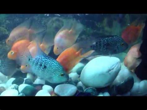 Zoey Bigsize colourfull big size parrot fish for sale in delhi