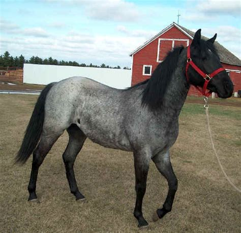 blue horses for sale in stallions