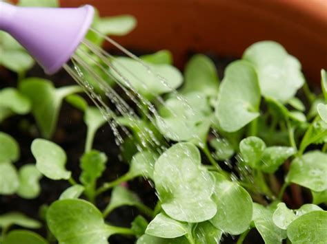grow radishes  seed diy