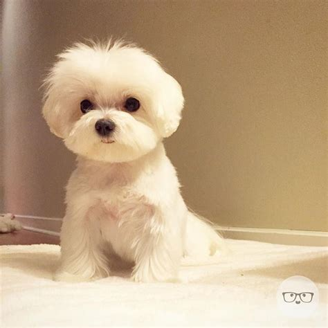 boy maltese haircuts 25 best ideas about maltese haircut on pinterest