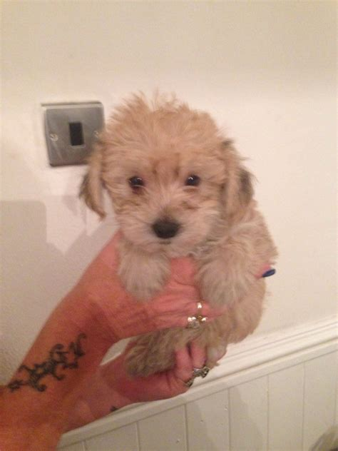 fluffy puppies for sale yorkiechon fluffy puppies for sale tamworth staffordshire pets4homes
