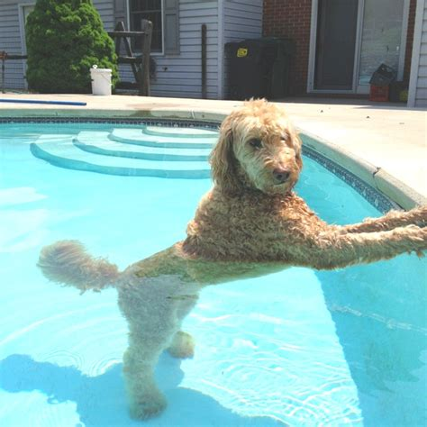 doodle swimming golden doodle posing in the pool what a cutie