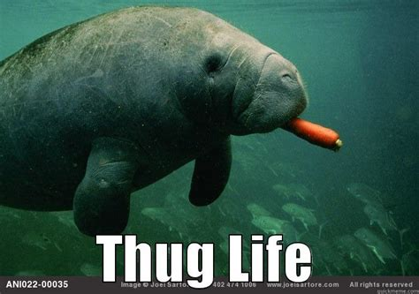 Manatee Meme - manatee meme 28 images 38 best images about calming