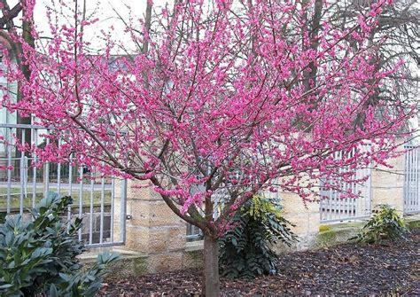 bilder nadelbäume bl 252 te februar m 228 rz prunus mume beni shi don die ume