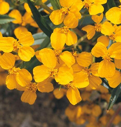 benih mexican mint marigold 20 biji non retail