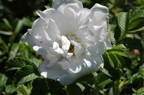 Rosa Rugosa Sorten 2533 by Rosa Rugosa Sorten Rosa Rugosa 39 Foxi 39 Duftende