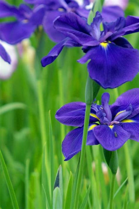 Butterfly Iris Blue T1310 3 126 best blue flowers images on blue flowers beautiful flowers and pretty flowers