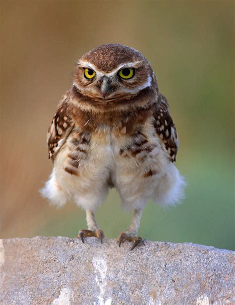 19 best images about owls on pinterest owls owl and like my pants burrowing owl by kj thurgood k j