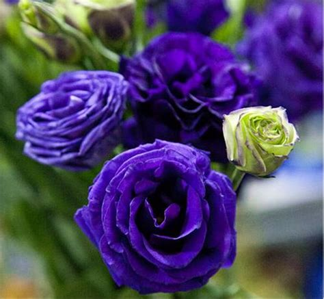 jual benih bibit biji bunga blue eustoma lisianthus