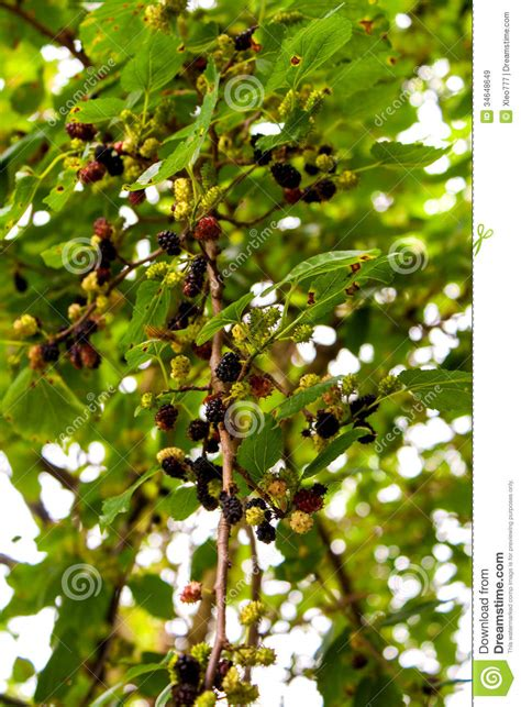 mulberry tree no fruit mulberry fruit royalty free stock images image 34648649