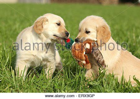 golden retriever manitoba two golden retrievers tug of war with a ski glove stock photo royalty free