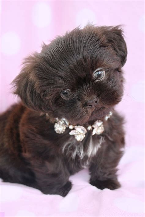 shih tzu teacups imperial shih tzu puppies for sale at teacups puppies in south florida yorkie