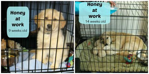 puppy in crate during day take your to work day 8 tips to make it work something wagging this way comes