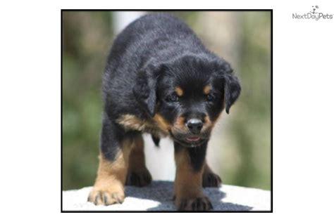 block rottweiler rottweiler puppy for sale near palm springs california 0bef64dd 0e71