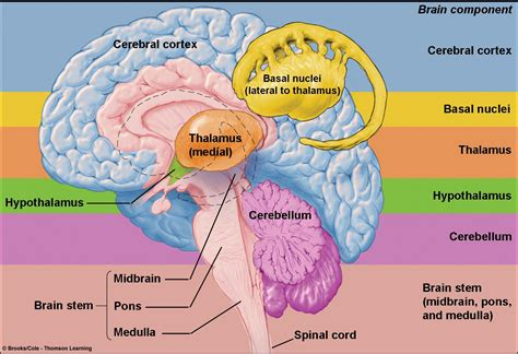 sections of the brain and functions associate degree nursing physiology review