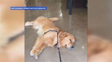 stubborn golden retriever golden retriever refuses to leave pet store in hilarious